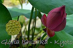 Glória Ishizaka - Flor de Lótus -  Kyoto Botanical Garden 2012 - 2