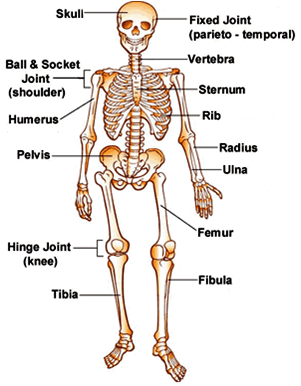 7 functions of human skeletal system ~ biology exams 4 u, Human Body