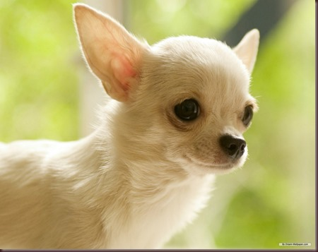 Amazing Animals Pictures Chihuahua (5)
