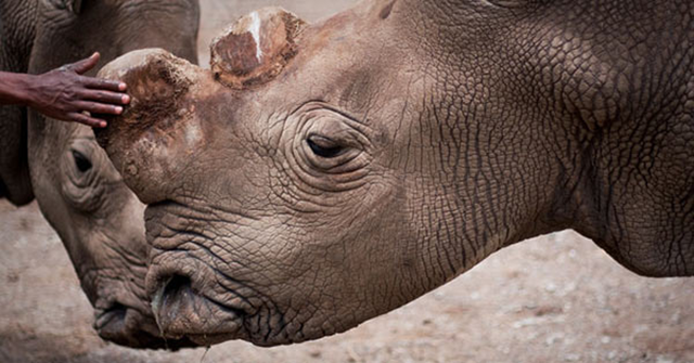 Suni, a male northern white rhinoceros (Ceratotherium simum cottoni) at the Ol Pejeta Conservancy in Kenya. Suni died on 17 October 2014. Photo: The Ol Pejeta Conservancy