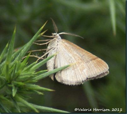 35-moth