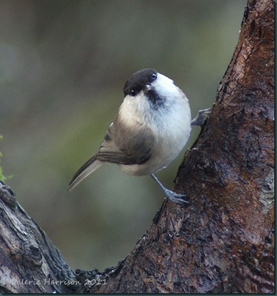 13-willow-tit