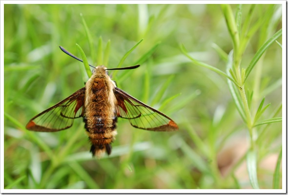 HUMMINGBIRD MOTH (4)