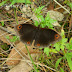 Nymphalidae%25252c%252520callerebia%252520annada%25252c%252520ringed%252520argus