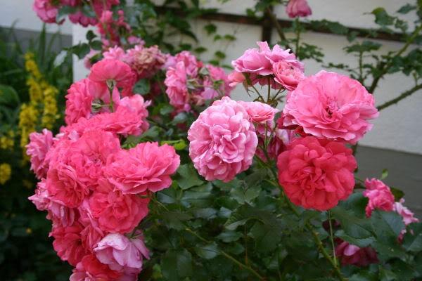 [Rosa-ELMSHORN.jpg]