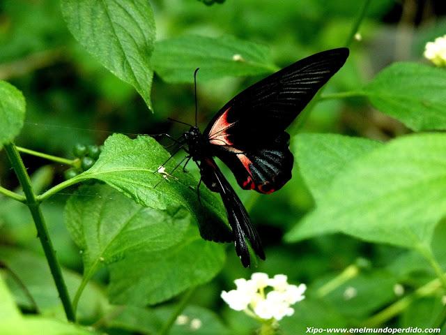 mariposa-roja-y-negra.JPG