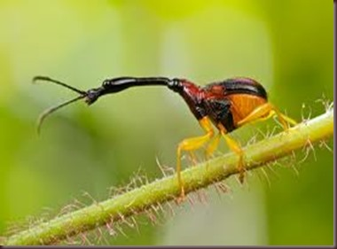Amazing Pictures of Animals, photo, Nature, exotic, funny, incredibel, Zoo, Giraffe weevil, Insecta, Alex (15)