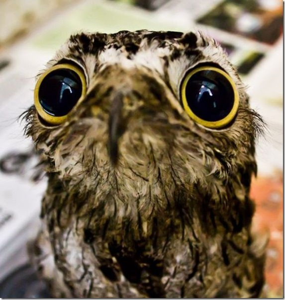 potoo-birds-eyes-8