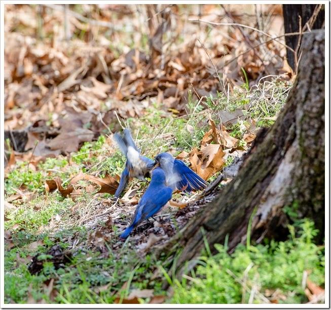 Bluebirds-1-3