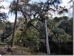 Old oak over river