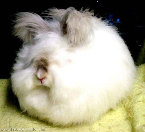 coelho angora peludo desbaratinando (23)