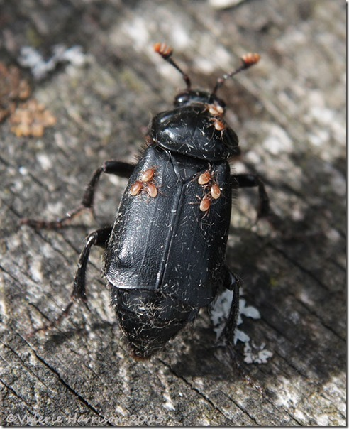 Nicrophorus-humator-1