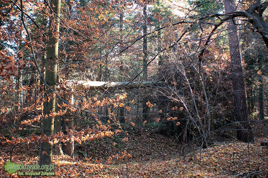 Las pod Starachowicami wygląda tak