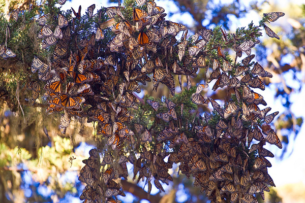 Monarch Butterflies wintering in California. The 2012-2013 winter survey indicated only 1.19 hectares (2.95 acres) were occupied, a dramatic 59 percent decrease from the previous year's survey. Photo: Agunther