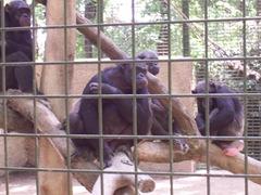 2009.05.22-034 chimpanzés