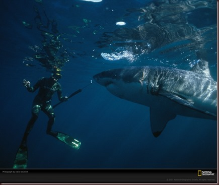 Amazing Animals Pictures White Shark (10)