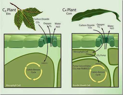 Difference between C3, C4 and CAM plants | Major Differences