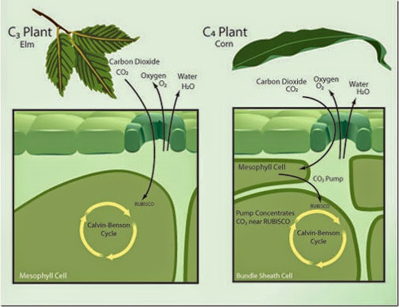 What Is The Characteristic Of C3 Plants Versus C4 Plants Socratic