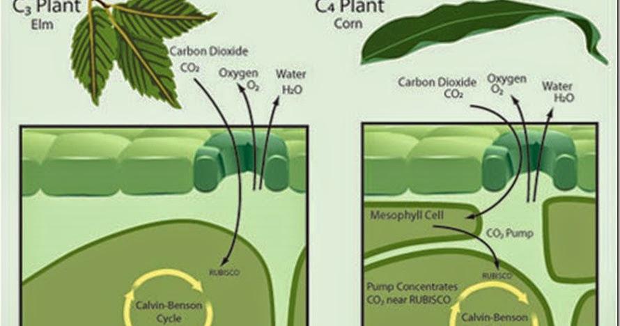 Anatomy of c3 plants