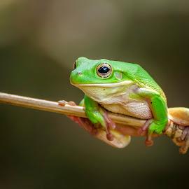 Sitting pretty by Dikky Oesin - Animals Amphibians ( water, frog, green, amphibians, animal, jump )