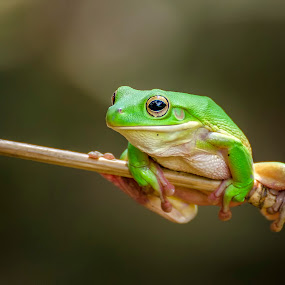 Sitting pretty by Dikky Oesin - Animals Amphibians ( water, frog, green, amphibians, animal, jump )