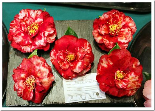 140302_Camellia_Society_Sacto_Show_012