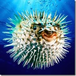 Puffer-Fish-Care