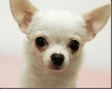 Amazing Animals Pictures Chihuahua (6)