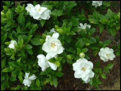 Gardenia1a