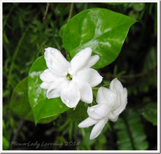 06-14-night-blooming-jasmine