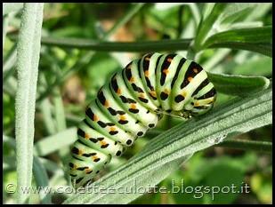 Papilio machaon (Farfalla macaone) - bruco (5)