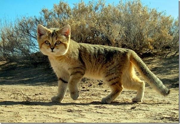 gato arena (3)