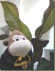 Banana Tree 1