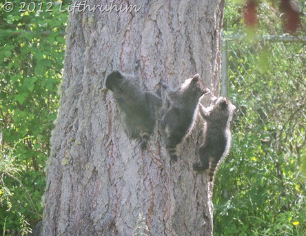 Three baby raccoons climbing a tree.