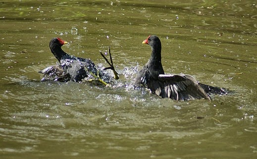 Amazing Pictures of Animals, Photo, Nature, Incredibel, Funny, Zoo, Common Moorhen, Gallinula chloropus, Aves, Alex (2)