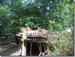 2011.07.26-016 servals