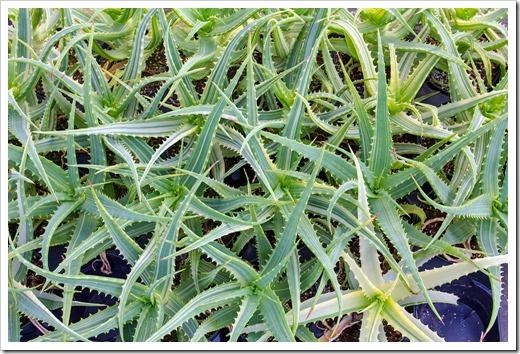120929_SucculentGardens_Aloe-arborescens-variegata_04