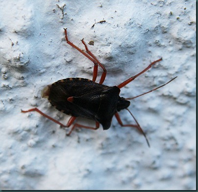 Forest Bug-Pentatoma-rufipes