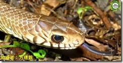 嘴巴上下邊緣處有著6~7條明顯黑色斑紋