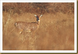- White-tailed Deer - Doe - in grass-ROT_5100 January 29, 2012 NIKON D3S