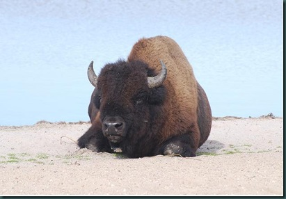 bison at the beach3