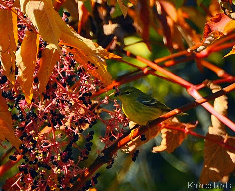 1. Pine Warbler