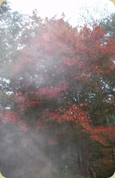 red maple in fog 2