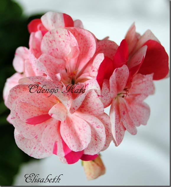 Pelargonium juni-11 182