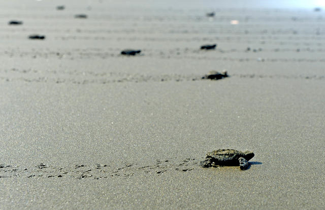Baby seas turtles crawl across a beach in Costa Rica. Jairo Mora Sandoval was a conservationist who protected baby turtles on Playa Moín. In the early morning of 31 May 2013, he was kidnapped and beaten to death. Photo: Lindsay Fendt