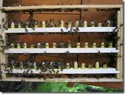 včely na květu a matečniky 004