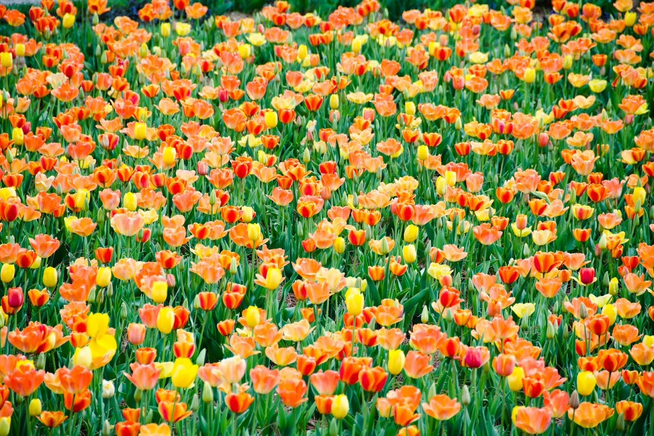 Tulips at the Biltmore
