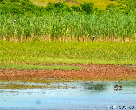 11. plovers and dowitchers-kab