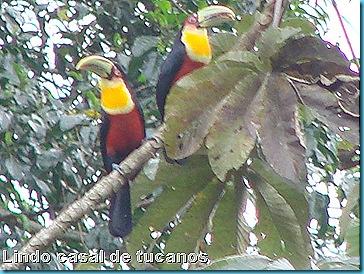 B Casal de tucanos