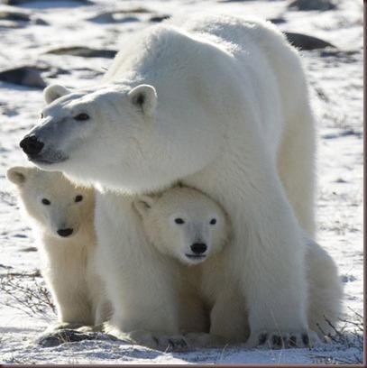 Amazing Animals Pictures Polic Bear (8)